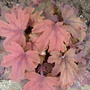 Heucherella `Sweet Tea`