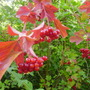 guelder rose