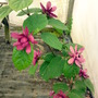 Sinocalycanthus