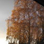 siver birch opposite my front window