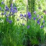 May 2010 (Iris sibirica (Siberian iris))