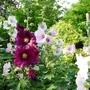 July was Hollyhock month (Alcea rosea (Black Hollyhock))