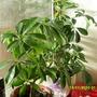 schefflera  (Schefflera arboricola (Australian Umbrella Tree))