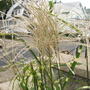 Fall tufts of Miscanthus 'Super Bar'