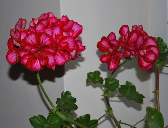 Pelargonium........ (pelargonium.)