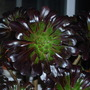 Blooms the size of dinner plates......Aeonium Swartzkoph. (Aeonium arboreum Zwartkop.....)