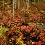 Patch of Viburnum edule