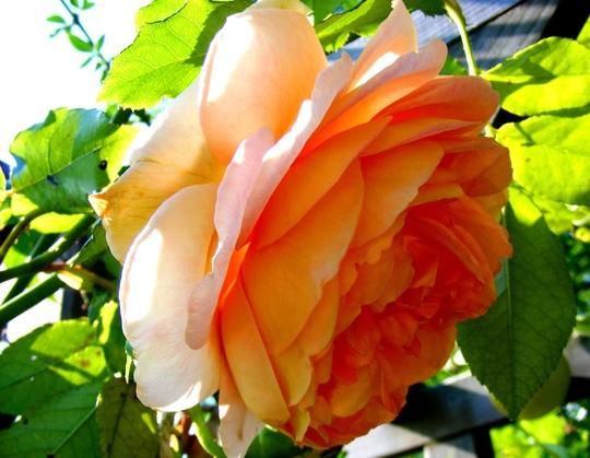 September rose (Rosa)