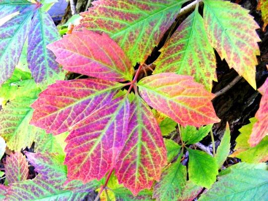 The first sign of Autumn colour (Parthenocissus quinquefolia (Virginia creeper))