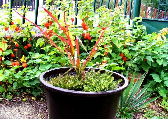 Red grass with Erica (Erica carnea (Winter heath))