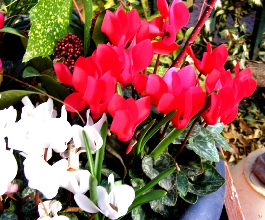 Another winter pot (Cyclamen)