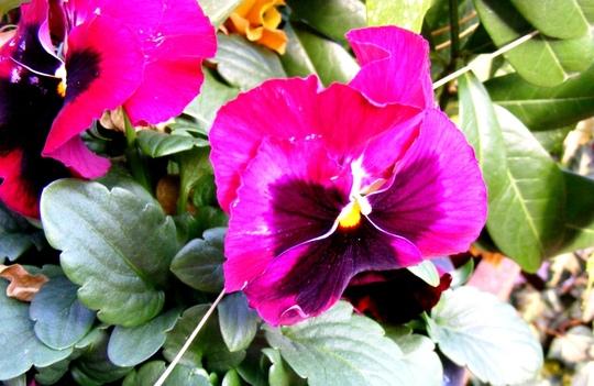 November blooms (Viola)