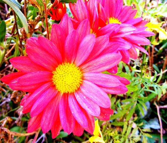 More November flowers (Chrysanthemum maximowiczii)