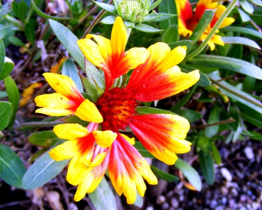 Gaillardia are still flowering (Gaillardia aristata (Blanketflower))