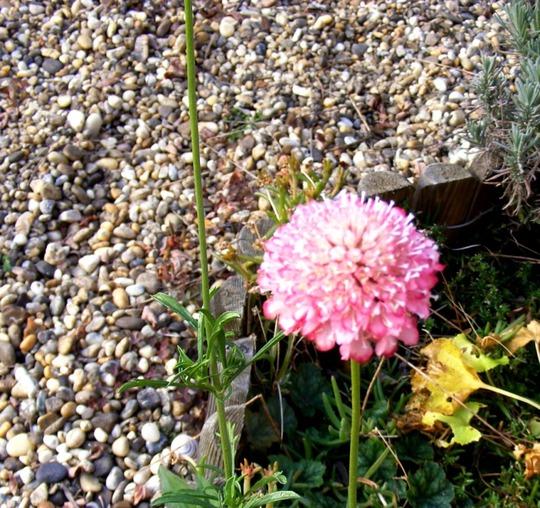 Pink scabious is late flowering (Centaurea scabiosa (Centauree Scabieuse))