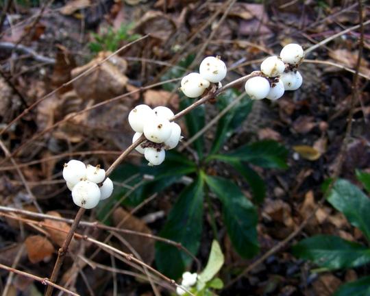 November is Berry time too (Symphoricarpos albus (Common Snowberry))