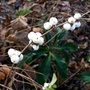 November is Berry time too (Symphoricarpos albus (Common Snowberry))