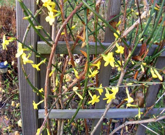 Winter Jasmine in November