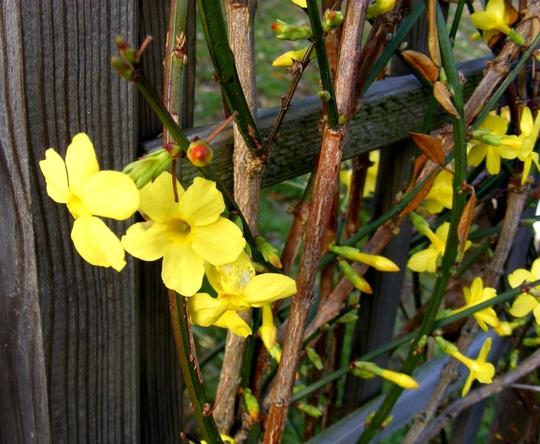 Winter Jasmine in November  (Jasminium nudiflorum)