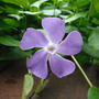 Seen in Canberra..... (Vinca)