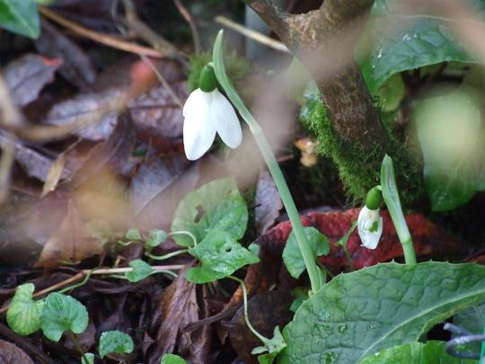 Galanthus reginae-olgae (Galanthus reginae-olgae)