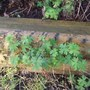 Geranium clarum growing through the log edging