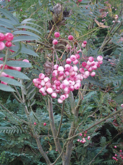sorbus vilmoriniana fruit