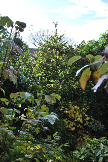 Holly reaching for the sky....... (Ilex Altaclarensis Golden King)