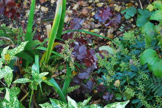Vitis Vinifera. (Vitis vinifera (Grape vine)Purpurea)