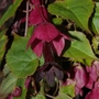 "Rhodochiton ""Purple Bell Vine"" (Rhodochiton atrosanguineus (Rhodochiton))"