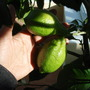 Lemons on standard lemon tree (Citrus limon (Lemon))