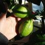 Lemons on standard lemon tree (Citrus limon (Lemon))