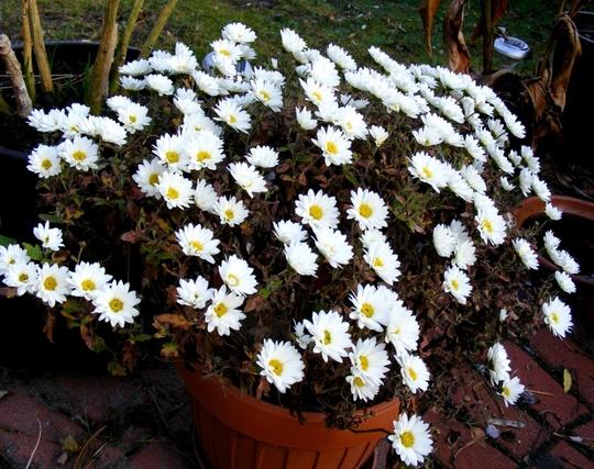 Pot of Chrysanths (Chrysanthemum maximowiczii)