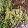 Euonymus (Euonymus fortunei (Euonymus))