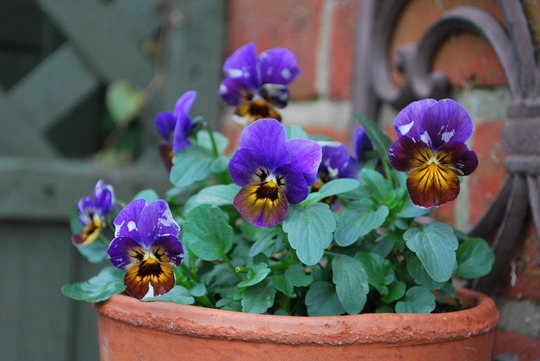 Pot of Violas........
