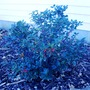 Ilex x meserveae 'Blue Princess'