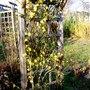 Winter Jasmine on arch (Jasminium nudiflorum)