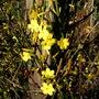Jasmine flowers (Jasminium nudiflorum)