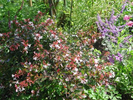 Abelia grandiflora (Abelia x grandiflora)
