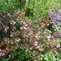 Abelia_grandiflora