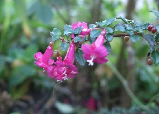 Fuchsia thymifolia (Fuchsia thymifolia)