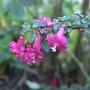 Fuchsia_thymifolia