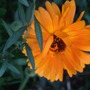Calendula 'Orange King' (Calendula 'Orange King')