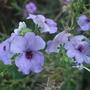 Blue Nemesia (Nemesia strumosa (Nemesia))