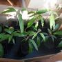 Alphonso Mango plants (Mangifera indica (Mango))