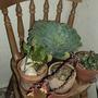 Echeveria ... in the conservatory (Echeveria)