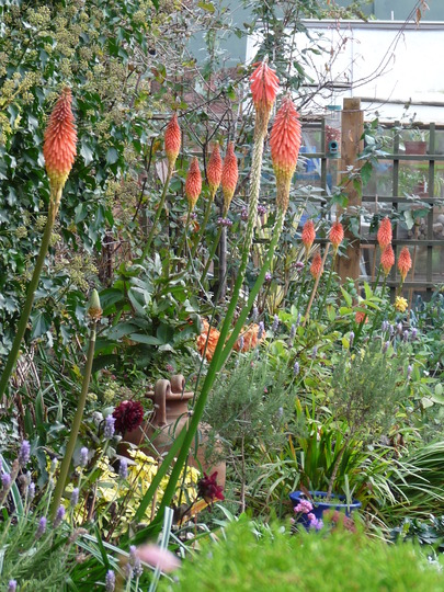 Flaming torches (Kniphofia caulescens (Red hot poker))