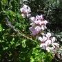 Ivy geranium ( pelargonium ) with English lavender