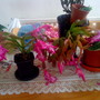 Christmas Cactus on living room table 2010-11-19 (Schlumbergera truncata)