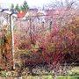 Dogwood stems (Cornus Sibirica)